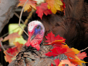 Turkey in Autumn Leaves