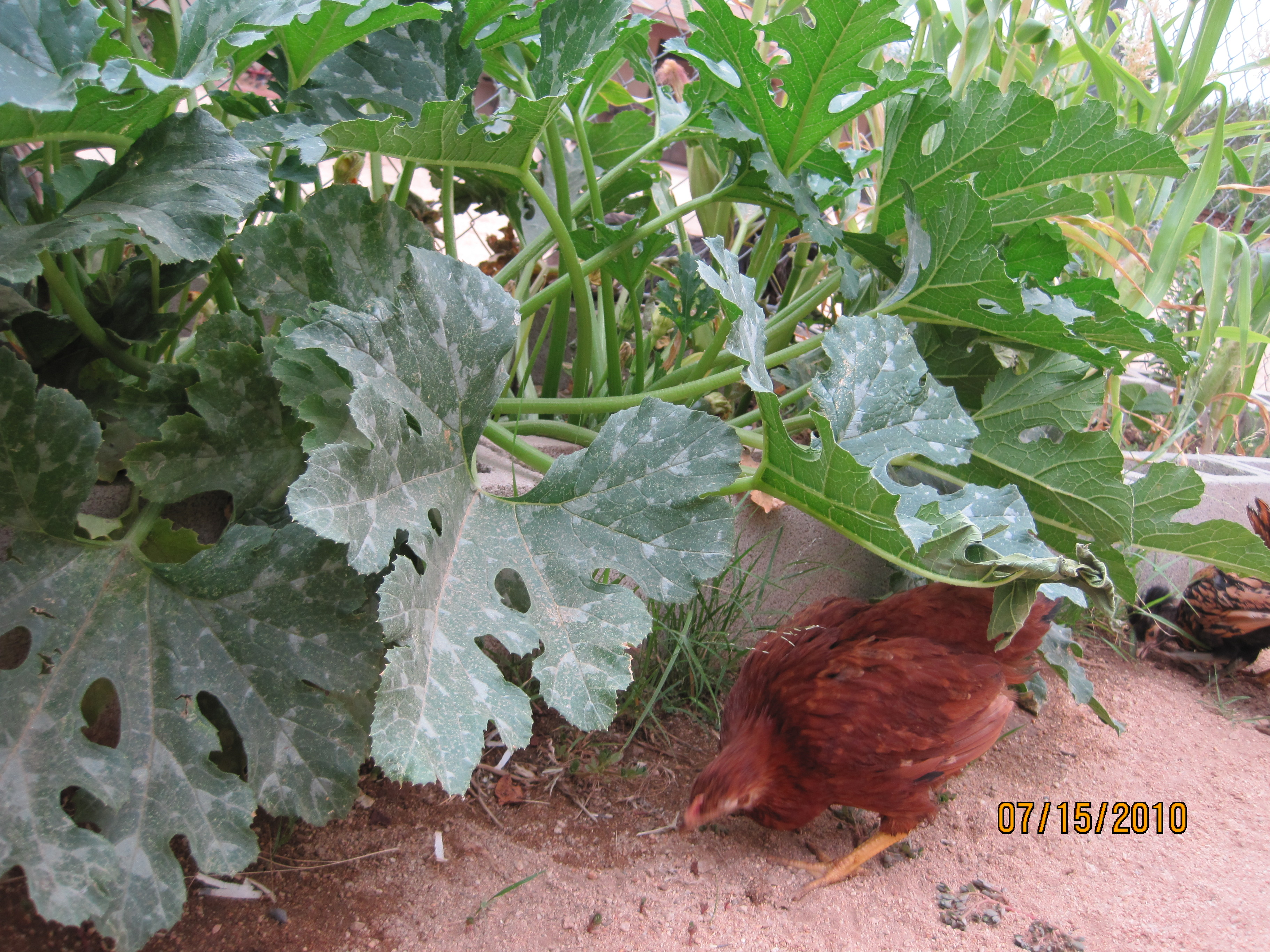 Chickens in the garden