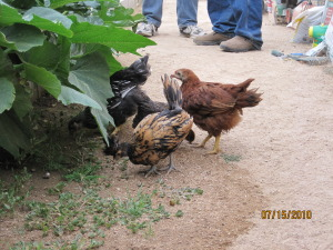 Feathered Chicks exploring the Garden