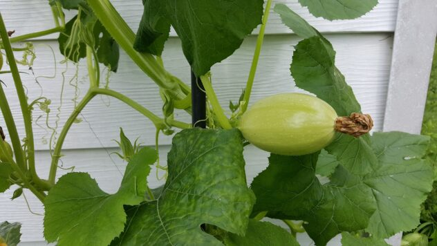A squash vine growing next to a house with white clapboard siding.  On the vine is a spaghetti squash, still green with the blossom drying on one end.  ding