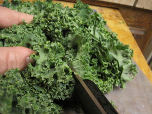 slicing kale