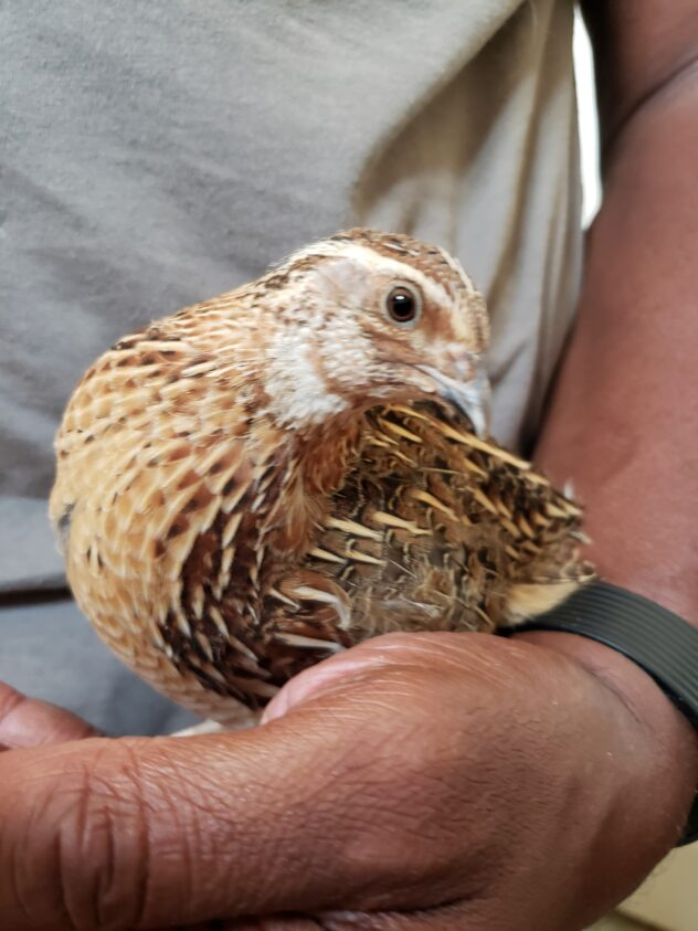 A handsome japanese, coturnix, quail sits on top of the hand of a dark skinned man